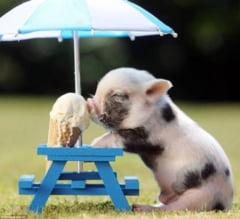 Porcii pitici, animale de companie mai istete decat cainii