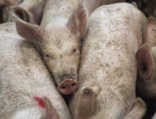 Porcii sunt ucisi in gospodarii si ferme, iar pe slideshow-ul ministrului Daea, statul ia cele mai bune masuri
