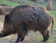 Porcul mistret, cel mai expus imbolnavirii