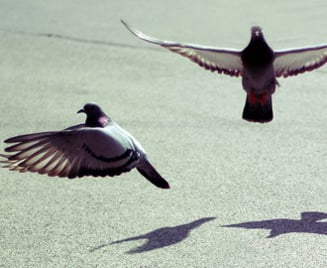 Porumbeii calatori ii alimentau cu droguri pe detinutii brazilieni