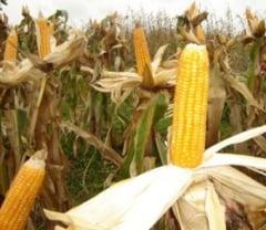 Porumbul, floarea soarelui si soia, cele mai afectate culturi agricole in 2015