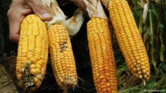 Porumbul modificat genetic isi face loc pe ogoarele europenilor - ce a cerut Comisia Europeana