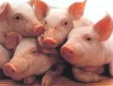 Posibil focar de pesta porcina la o ferma din Timis
