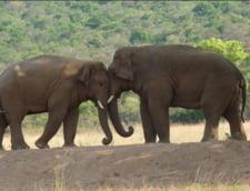 Povestea de dragoste interzisa a doi elefanti face furori: Parca-s scosi din drama lui Shakespeare!