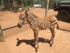Povestea emotionanta a Diriei. Detaliul care a facut ca imaginile cu mica zebra sa ajunga viral (Galerie foto)