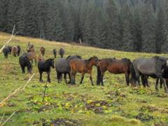 Povestea hutulului, singura rasa de cai 100% romaneasca