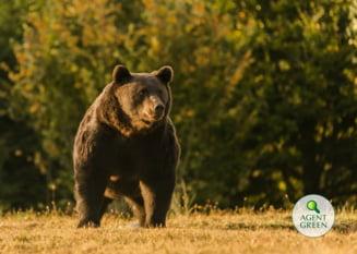 Povestea lui Arthur, ursul de aur al Romaniei si cel mai mare din Europa, impuscat de un print austriac