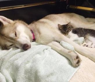 Povestea lui Rosie, pisicuta care se crede caine dupa ce a fost adoptata de un Husky (Video)