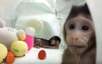 Premiera mondiala: Chinezii au clonat maimute pe metoda Dolly (Video)