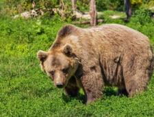 Presa internationala: In Romania, tara ursilor, creste nemultumirea oamenilor fata de atacurile animalelor