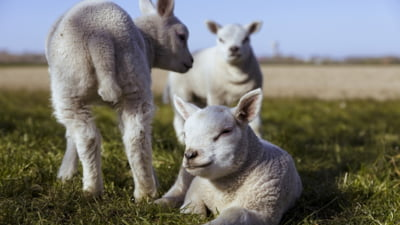 Pretul mieilor de Paste. Ciobani de la munte spun ca nu au cumparatori si prefera sa lase mieii sa creasca si sa-i vanda in toamna la arabi