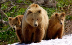 Primaria Braşov a coordonat acţiunea de capturare şi relocare a primelor exemplare de urşi. Cum a decurs operaţiunea