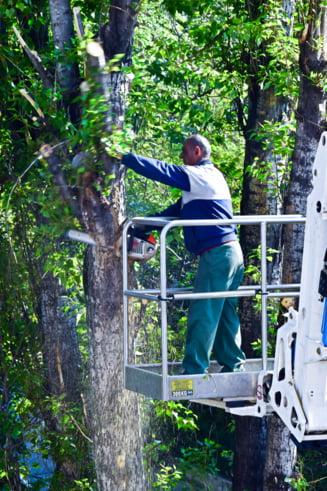 Primaria Sectorului 3 a taiat degeaba un arbore sanatos, de peste 16 metri. Robert Negoita recunoaste ca se poate sa fi incalcat legea, dar nu ii pasa (Foto&Video)