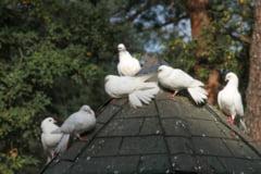 Primavara se numara... porumbeii sanatosi - ingrijire si tratamente de preventie specifice acestei perioade