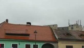 Primele concluzii in cazul ursului impuscat la Sibiu: Avea 5-6 ani si era sanatos - Ce spune prefectul