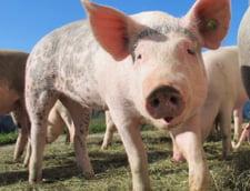 Primul focar de pesta porcina africana a fost confirmat in Romania