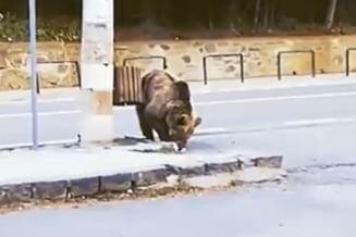 Primul urs din județul Prahova care va fi ucis prin decizia autorităților. Animalul este considerat imposibil de stăpânit