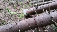 Procurorii din Vatra Dornei au trimis in judecata administratorul unei firme, mai multi angajati si silvicultori pentru crearea de false doboraturi naturale de arbori in vederea marcarii si taierii ilegale