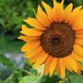 Producţie-record la floarea-soarelui înregistrată de România. Lipsa unităţilor de procesare duce la exportul materiei prime