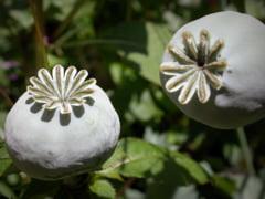 Productia de opiu din Afganistan, in crestere cu peste 60%