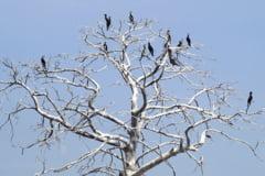 Proiect: PSD propune sa fie vanati cormoranii. Printre argumente - pasarile sunt prea inteligente si pestii stresati
