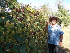 Proprietarul primei plantatii de mure altoite din Romania traieste in comuna Cosminele