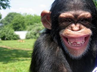 Propunere soc: Cimpanzeii ar putea primi drepturi egale cu oamenii