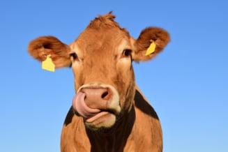 Pui, vaci, concedii si apartamente. Topul celor mai inedite bonusuri oferite celor care se vaccineaza