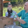 Pui de panda roșu născuți la Brașov. Specia pe cale de dispariție este protejată printr-un program european FOTO