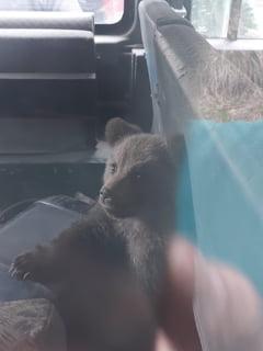 Pui de urs salvati dintr-o comuna din Arges. Un localnic a cerut ajutorul autoritatilor FOTO