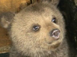 Pui de urs ucis cu sadism, intr-o comuna din Neamt