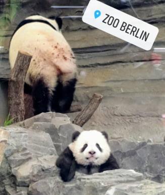 Puii de panda de la Zoo Berlin sunt gata sa-si faca debutul in public (Video)