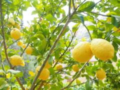 Puterile miraculoase ale citricelor - remedii naturale cu lamaie