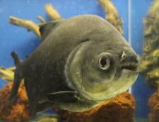 Rasturnare de situatie in cazul pestilor piranha gasiti in lacul Firiza
