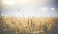 Recoltă record de grâu pentru România. Cea mai mare producţie după aderarea la Uniunea Europeană