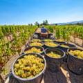 Recoltarea strugurilor: perioada optimă și alte recomandări pentru vinuri de calitate