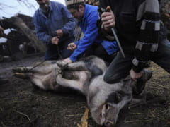 Recomandari pentru sacrificarea porcilor, din partea medicilor veterinari! Nu uitati... pistolul cu glont captiv!!!