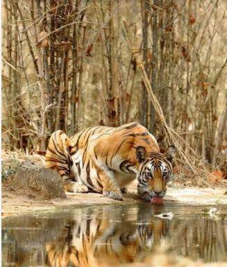 Record de distanta parcurs de un tigru, in cautare de teritoriu si pereche