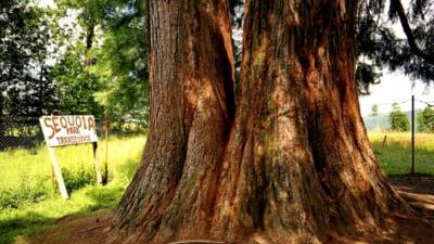 Romania, una din cele sapte tari europene unde arborii gigantici sequoia pot fi admirati