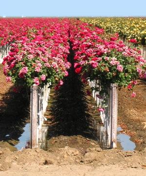 Romania a importat in 8 luni flori de 12 milioane de euro
