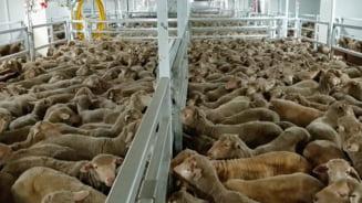 Romania deschide exportul cu oi vii in Golful Persic, acolo unde Australia l-a inchis