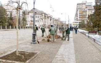 Romania lucrului prost facut. Scandal de zeci de mii de euro: blestemul teilor taiati si replantati pe banii iesenilor