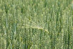 Romania redevine granarul Europei? Exporturile noastre de cereale sunt cele mai mari din UE