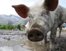 Romania se confrunta cu cea mai grava boala a animalelor de dupa cel de-al Doilea Razboi Mondial