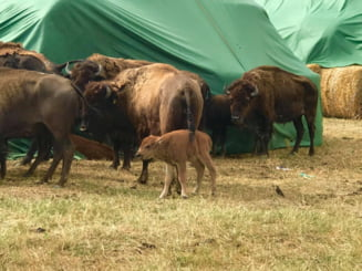 Romanul care creste bizoni pentru carne. Pretul impresionant al produsului cu doza mica de colesterol si continut mare de fier