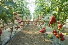 Rosiile romanesti, mai devreme in piete