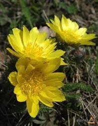 Ruscuta, floarea Pastelui care trateaza afectiunile inimii