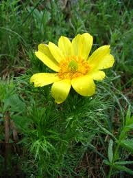 Ruscuta-de-primavara sau floarea-Pastelui trateaza afectiunile inimii