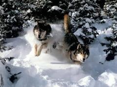 Rusia: Razboi cu lupii in republica Sakha