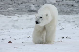 Rusii au scapat de ursii polari pentru care se decretase stare de urgenta